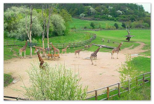 Жирафы в пражском зоопарке.