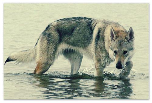 Отзывы о чехословацком волчаке.