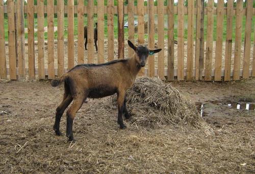 Маленький чешский козлёнок — один из четырёхсоттысячного семейства.