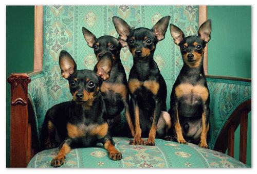 Пражский крысарик — описание собаки, цена и фото. Ратлик. Где купить щенка породы пражский крысарик. Питомники в Москве и Санкт-Петербурге