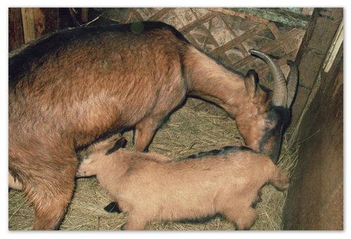 Молоко чешской козыи не имеет специфического запаха и привкуса, характерных для козьего молока.