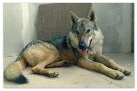 В каком питомнике купить собаку породы Чешский волчак?