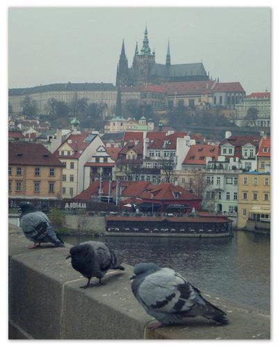 Голодный съёжившиеся замёрзшие голуби на Карловом Мосту.