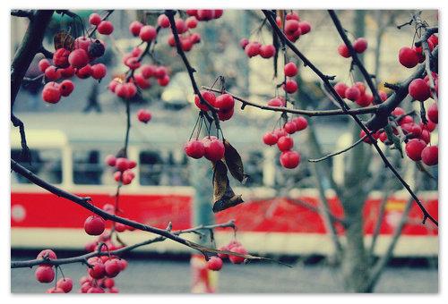 Погода способствует фотографированию рябины на фоне трамваев.