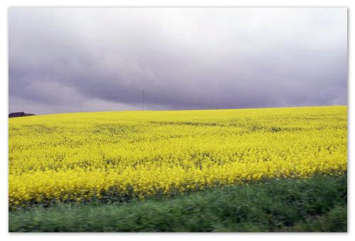 Жёлтое поле рапса.