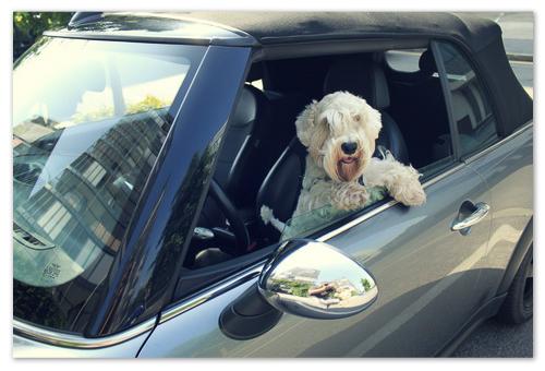 Собака в машине за рулём.