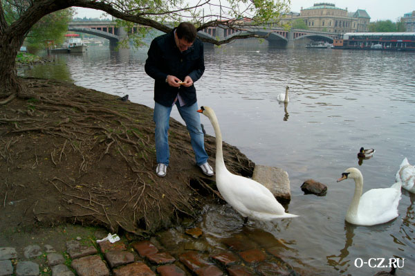 Кормление лебедей.