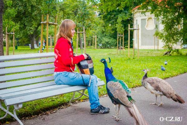 Девушка кормит павлинов.