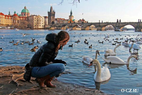 Лебеди на воде.